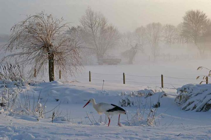 202-Wittover Storch im Winter